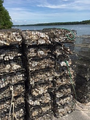 Oysters in cages ready to be place on the new reef. © The Nature Conservancy