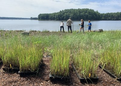 Wagon Hill Farm living shoreline planting