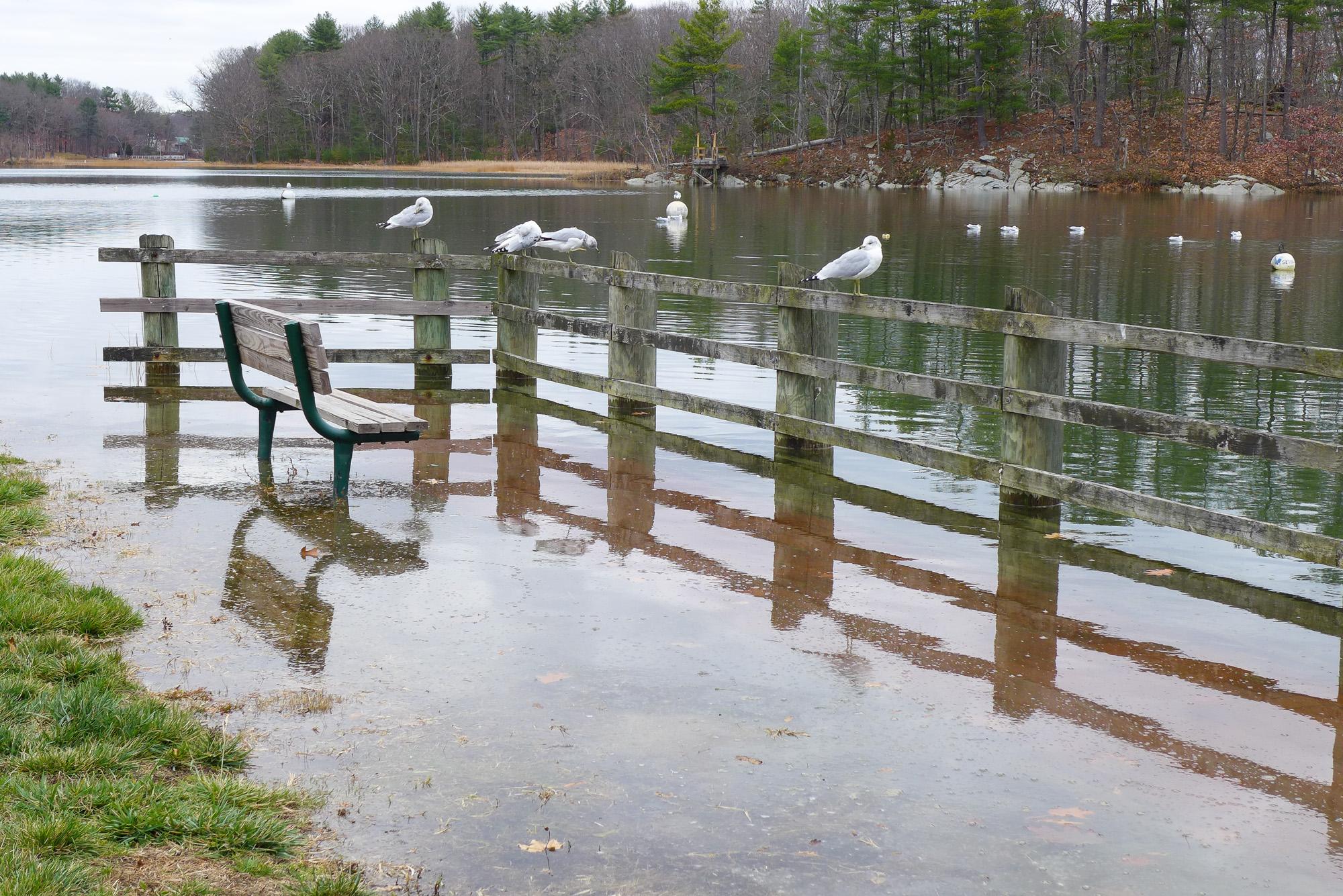 Jackson Landing Seagulls Seek High Ground. Photo credit: Julia Belshaw